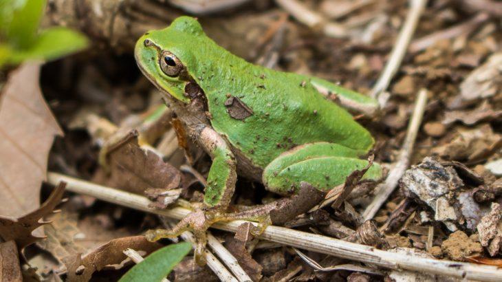 ニホンアマガエル緑色
