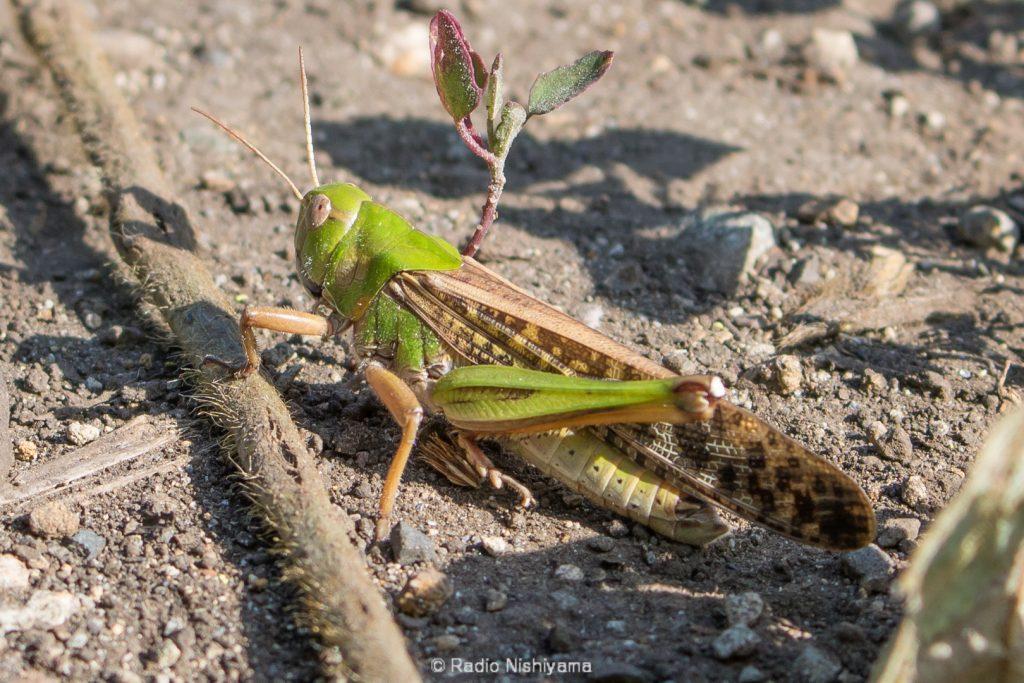 トノサマバッタ緑型の雄