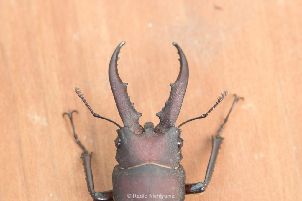ノコギリクワガタ中型個体の頭部