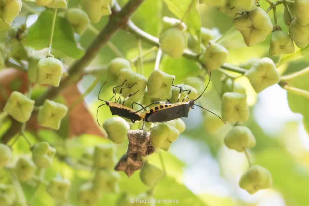 キバラヘリカメムシの交尾