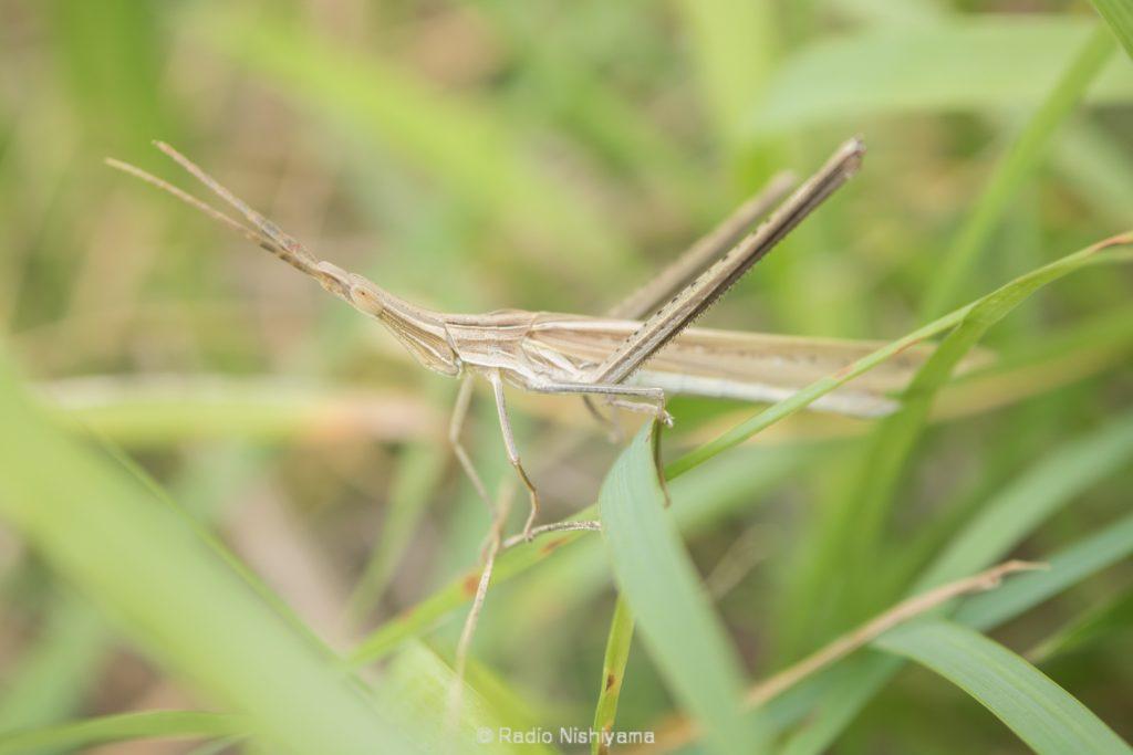ショウリョウバッタ褐色型の雄