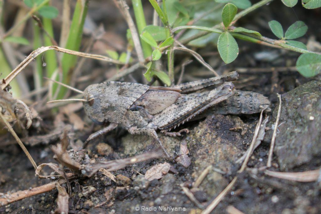 トノサマバッタ褐色型終齢幼虫雌