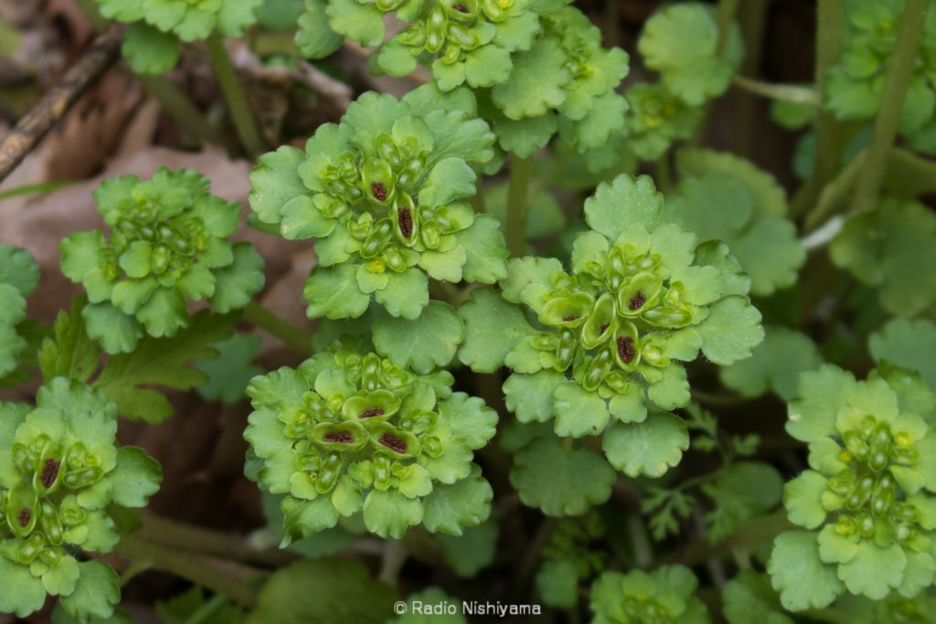 ヤマネコノメソウの花と種子