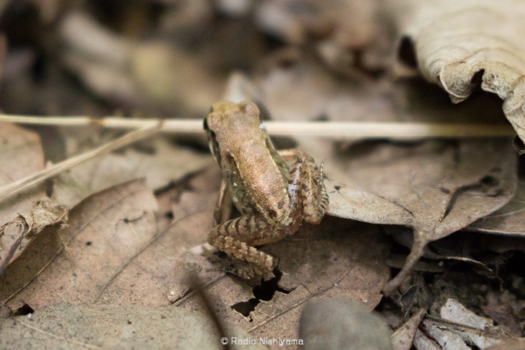 ヤマアカガエルの幼体