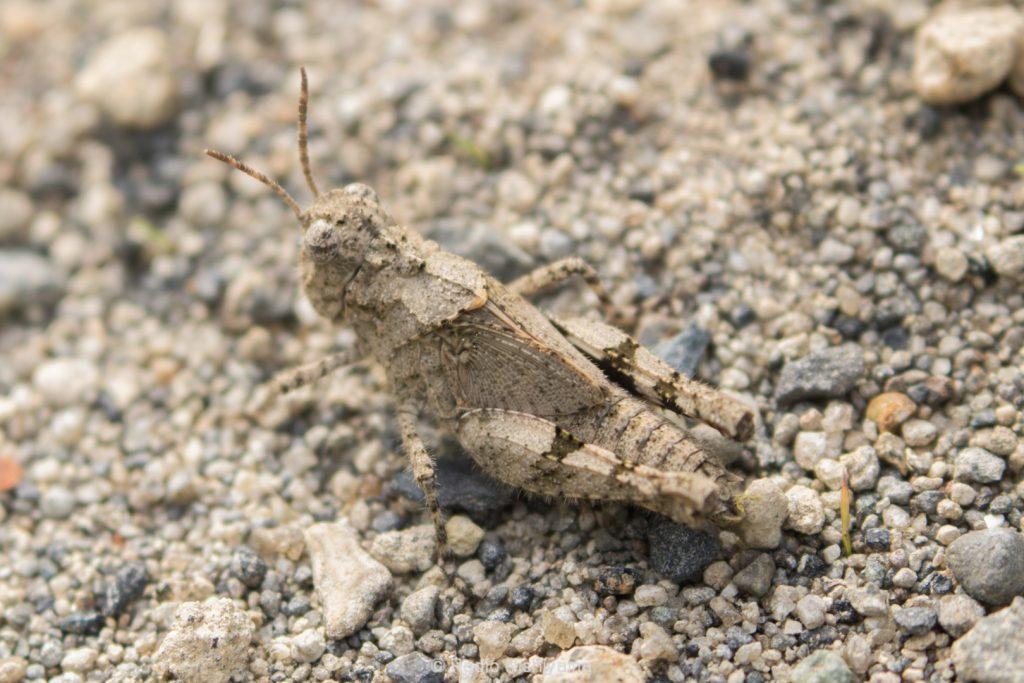 イボバッタの幼虫