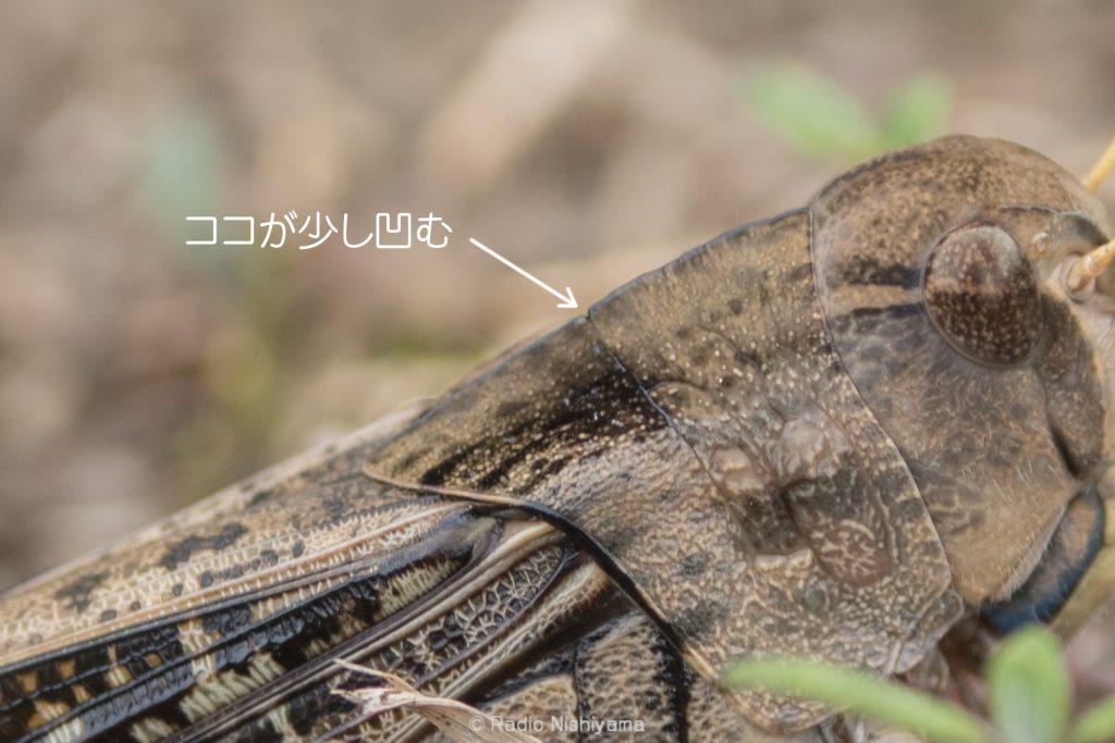 トノサマバッタ前胸背板上縁の凹み