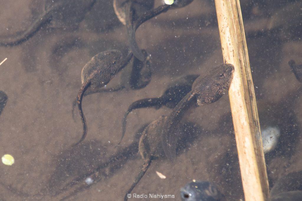 ヤマアカガエルのオタマジャクシ