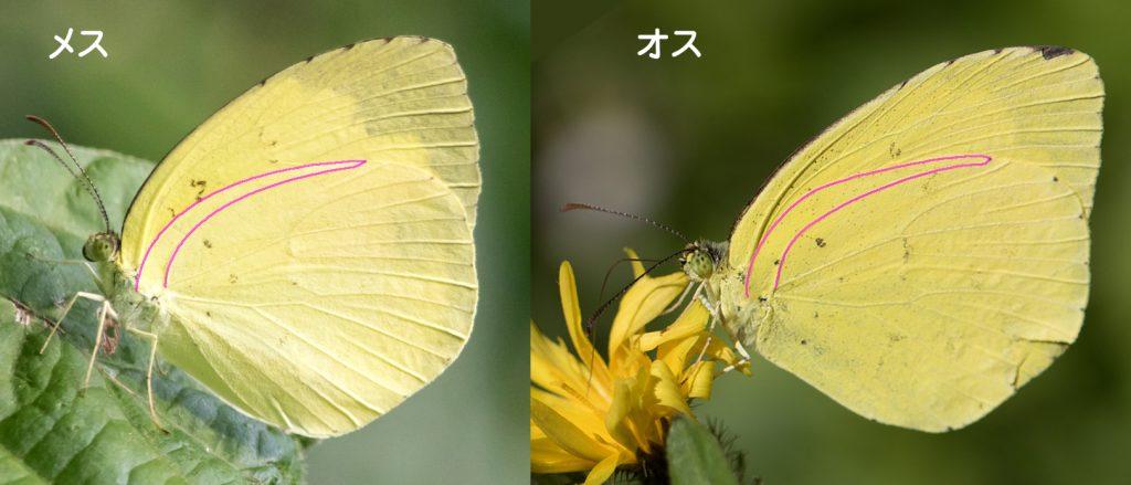 キタキチョウの雌雄判別