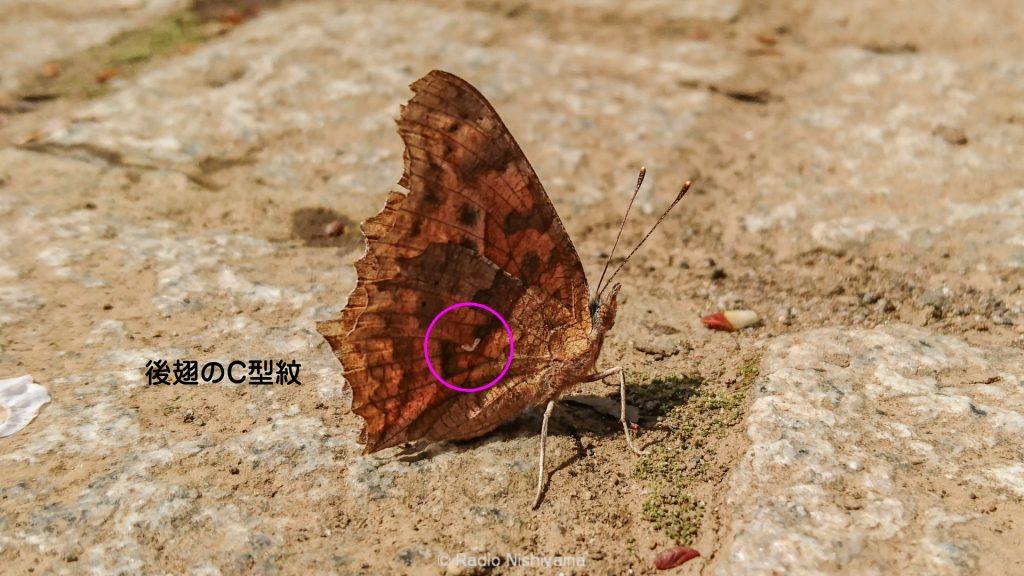 キタテハの後翅のC型紋
