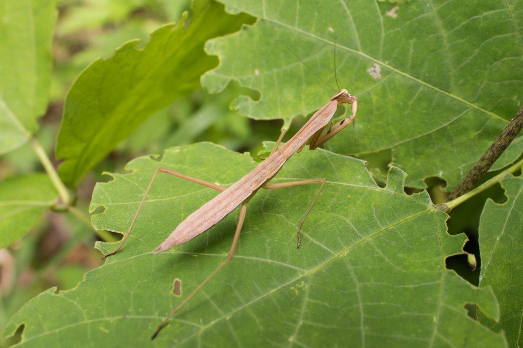 コカマキリの幼虫
