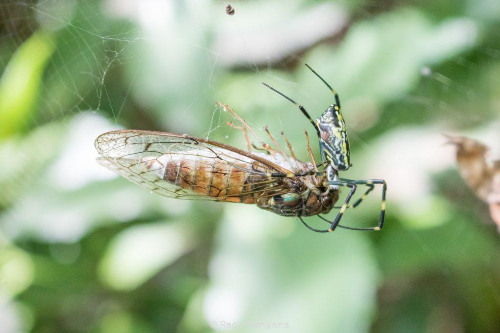 ジョロウグモに捕食されるヒグラシ