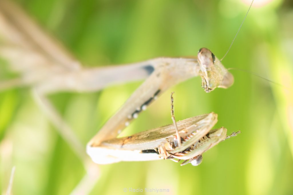 コカマキリがアリを捕食