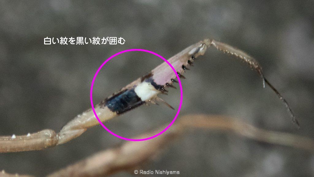 コカマキリの前脚の紋