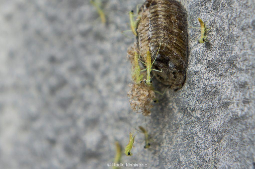 ハラビロカマキリの孵化