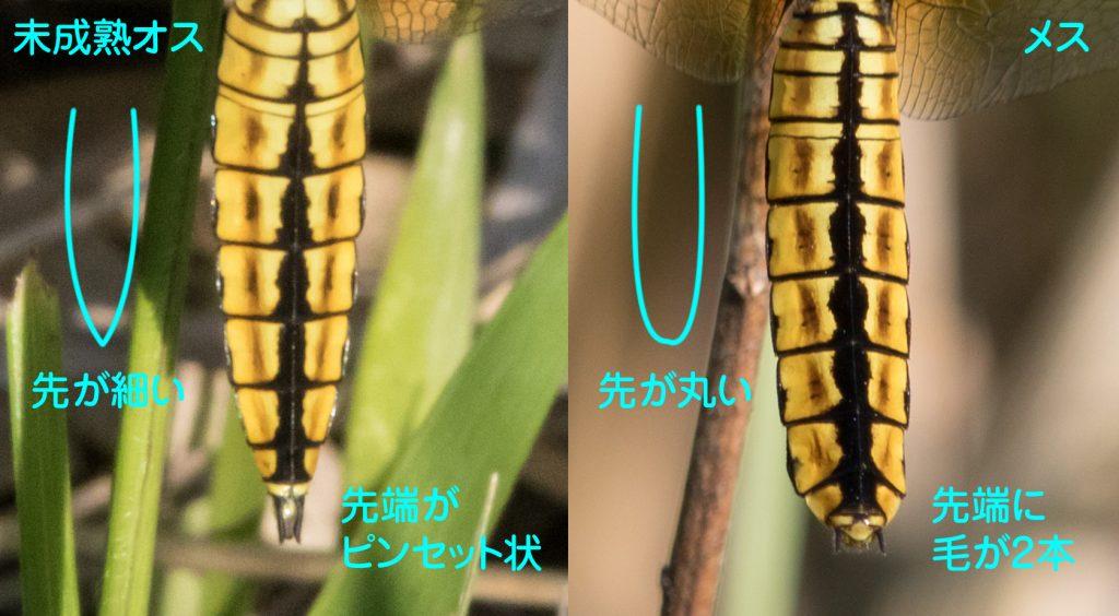 ハラビロトンボの未成熟雄と雌の腹部の違い