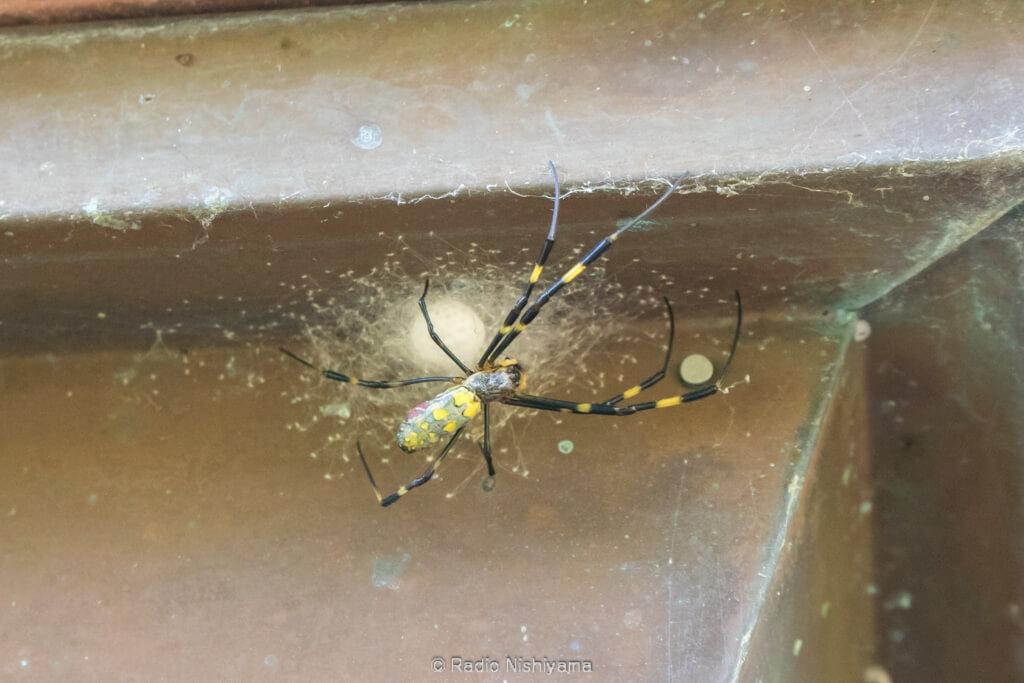 卵嚢を守るジョロウグモ