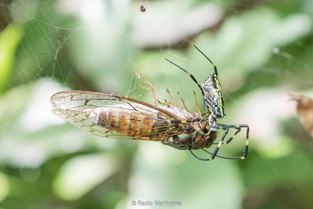 ヒグラシを捕食しているジョロウグモ