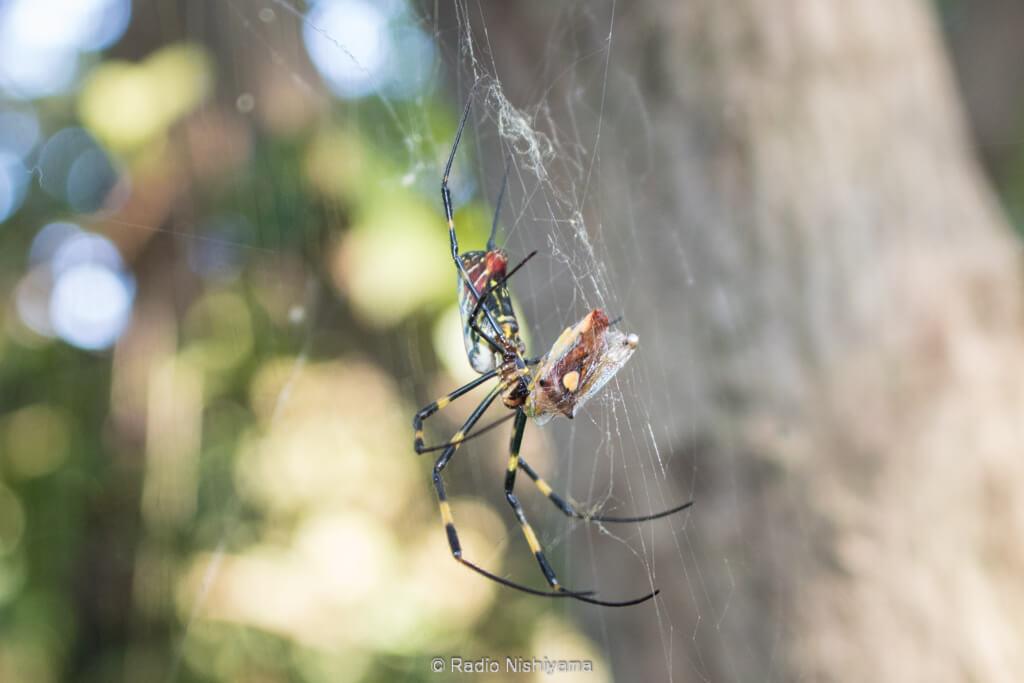 エサキモンキツノカメムシを捕食しているジョロウグモ