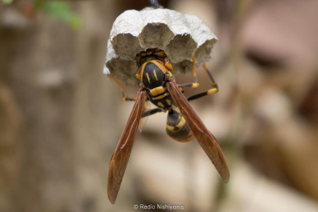 キアシナガバチの営巣