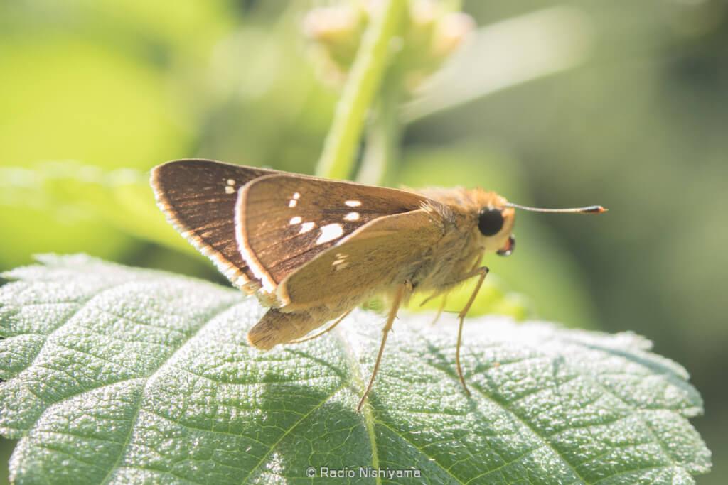 前翅の紋も美しいイチモンジセセリ