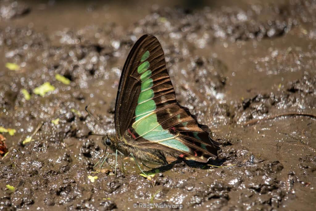 湿地で吸水するアオスジアゲハ