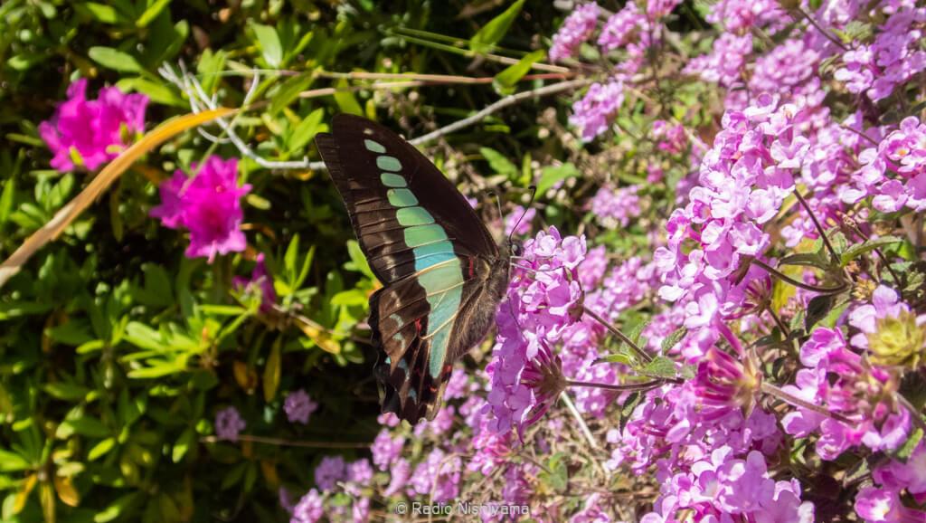 民家の庭先で蜜を吸うアオスジアゲハ