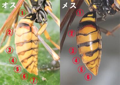 キアシナガバチの腹節