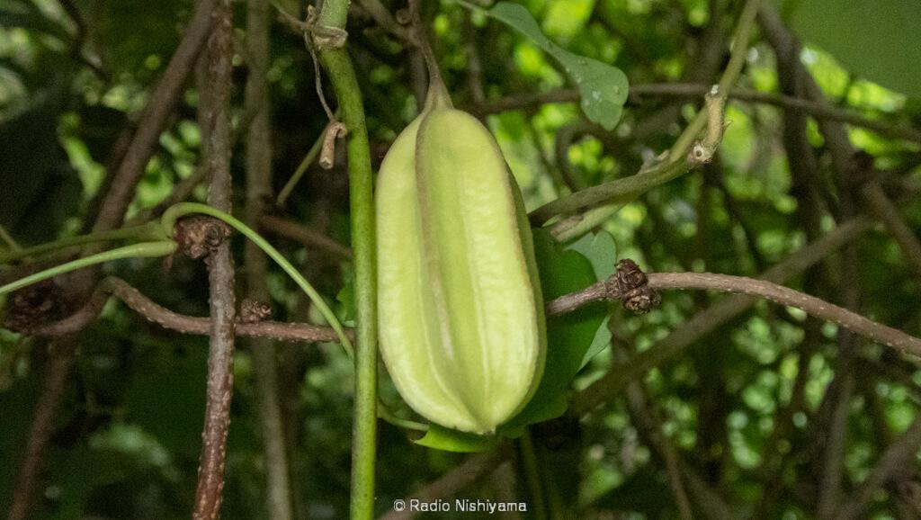 オオバウマノスズクサの果実