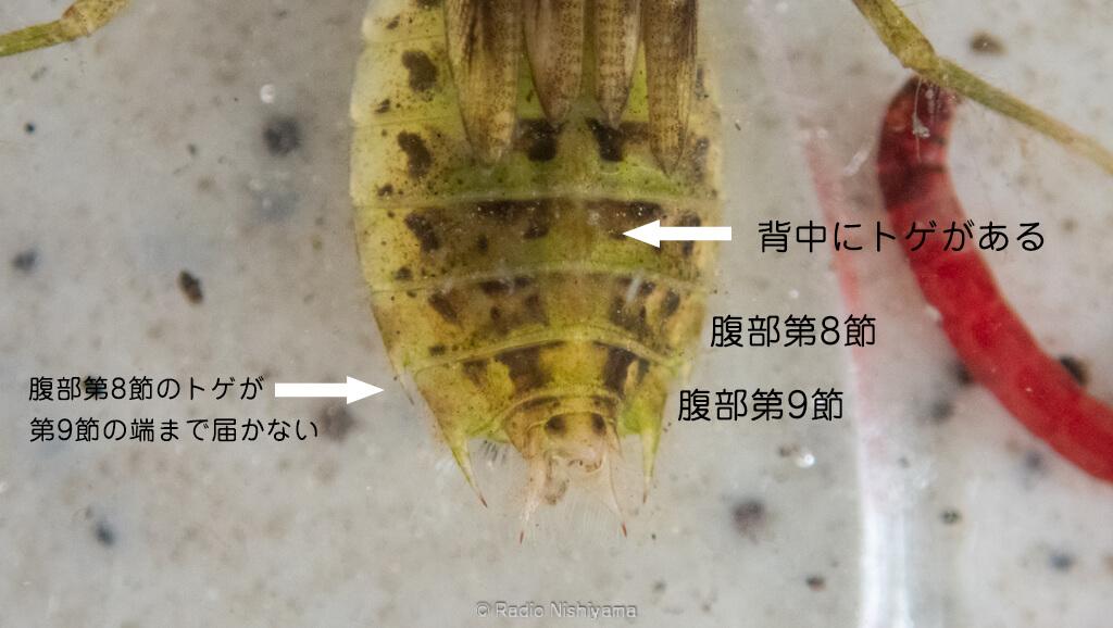 コノシメトンボのヤゴの腹部