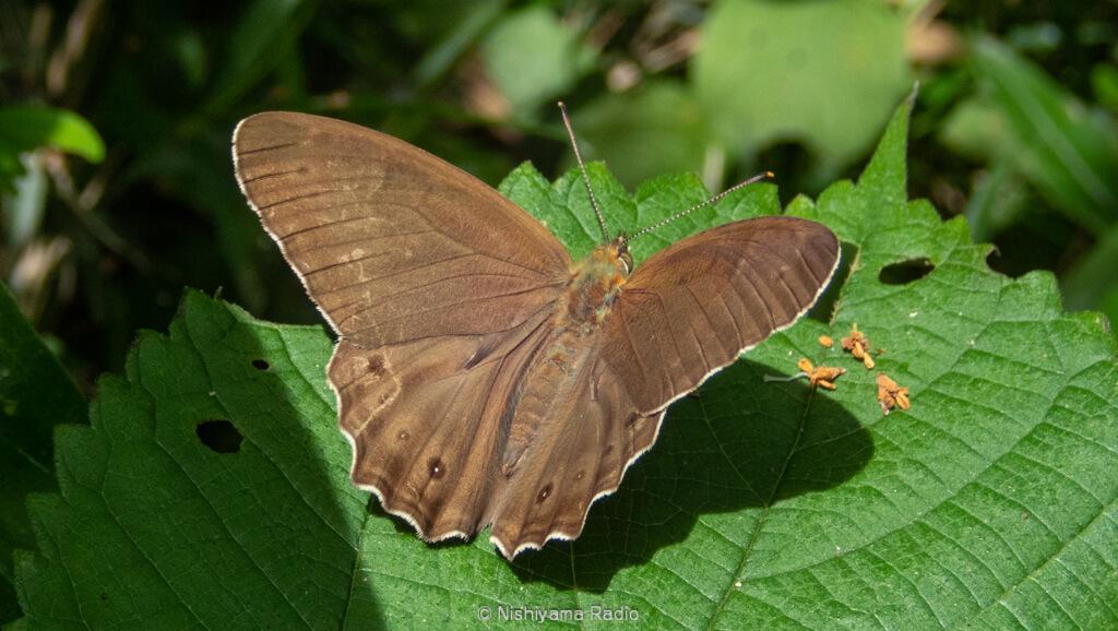 ヒカゲチョウの翅表面